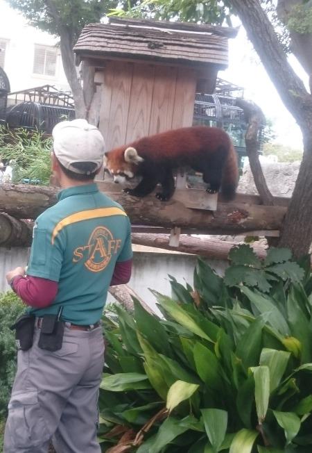 野毛山動物園レッサーパンダ